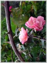 rosa-y-espina